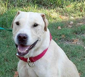 Labrador Retriever/Bull Terrier Mix Dog for adoption in Tyler, Texas - AA-Marley