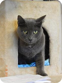 Russian Blue Cat for adoption in Fort Myers, Florida - Taz