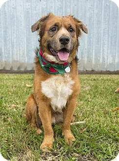Golden Retriever/Australian Shepherd Mix Dog for adoption in Houston, Texas - Gable