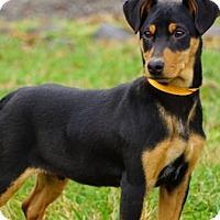 Adopt A Pet :: Wiseman - Carteret/Eatontown, NJ