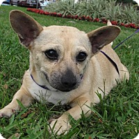 Adopt A Pet :: Chacha - Gainesville, FL