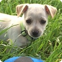Adopt A Pet :: Winston Wood - Houston, TX
