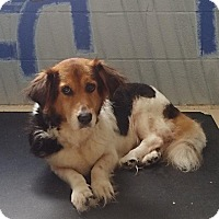 Shepherd (Unknown Type)/Basset Hound Mix Dog for adoption in Crossville, Tennessee - Ginger
