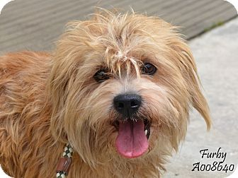 Cairn Terrier Mix Dog for adoption in Allentown, Pennsylvania - Furby