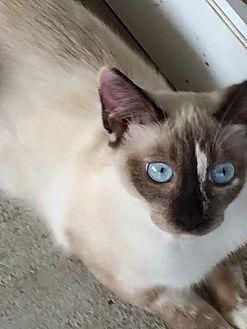 Siamese Cat for adoption in Miami, Florida - Cats