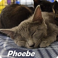 Domestic Shorthair Kitten for adoption in Las Vegas, Nevada - Phoebe