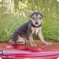 Adopt A Pet :: Reece - Terre Haute, IN