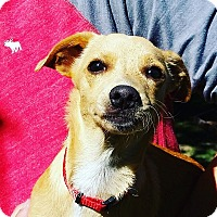 Dachshund/Jack Russell Terrier Mix Puppy for adoption in Thousand Oaks, California - Bambi