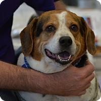 Adopt A Pet :: Rocky Caroline - Waldorf, MD