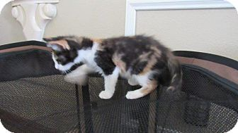 Domestic Mediumhair Kitten for adoption in Aurora, Colorado - Bunny