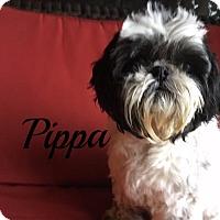Adopt A Pet :: Pippa - Maitland, FL