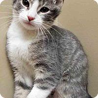 Domestic Shorthair Kitten for adoption in Oswego, Illinois - Nala