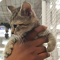 Adopt A Pet :: Chestnut Praline - Raleigh, NC