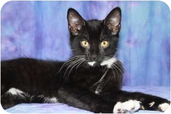 Domestic Shorthair Cat for adoption in Norwich, New York - Selim