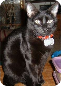 Domestic Shorthair Cat for adoption in Springdale, Arkansas - Gnomers (Gnome-Gnome)
