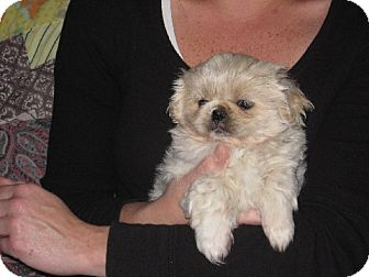 Pekingese Puppy for adoption in Greenville, Rhode Island - Lin