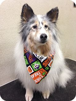 Sheltie, Shetland Sheepdog Dog for adoption in Mission, Kansas - Rocky II