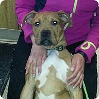 Adopt A Pet :: Bear - Sunderland, MA