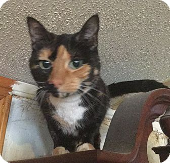 Domestic Shorthair Cat for adoption in Garland, Texas - Paris