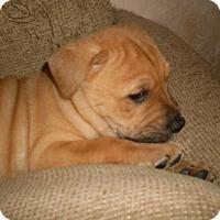 Adopt A Pet :: Crush - Austin, TX