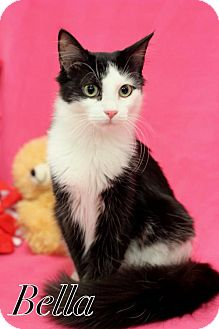 Domestic Shorthair Cat for adoption in knoxville, Tennessee - Rosie & Bella  female $70