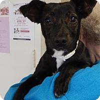 Adopt A Pet :: Bobbi - Amarillo, TX