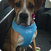 Adopt A Pet :: Ari - Joliet, IL