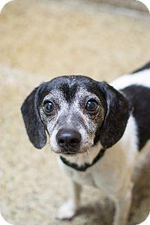 Rat Terrier/Beagle Mix Dog for adoption in Cranston, Rhode Island - Oreo