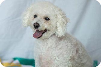 Poodle (Miniature) Dog for adoption in Carrollton, Texas - Luke