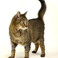 Domestic Shorthair Cat for adoption in Roseville, California - Michael