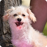 Terrier (Unknown Type, Small) Mix Puppy for adoption in Rosamond, California - Mac