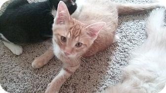 Domestic Shorthair Kitten for adoption in Cedar Springs, Michigan - Buzz