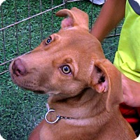 Adopt A Pet :: Sherry 14 week old affectionate beauty - Rowayton, CT
