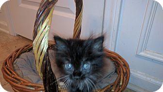 Manx Kitten for adoption in Smyrna, Georgia - Charlotte