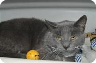 Domestic Shorthair Cat for adoption in Warren, Michigan - Great Catsby at Hazel Park