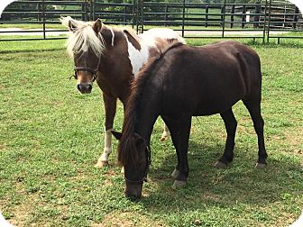Pony - Other Mix for adoption in Nicholasville, Kentucky - Coco