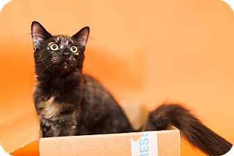 Domestic Shorthair Cat for adoption in Cincinnati, Ohio - Kylee
