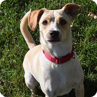Labrador Retriever/Terrier (Unknown Type, Medium) Mix Dog for adoption in Minneapolis, Minnesota - Marshall
