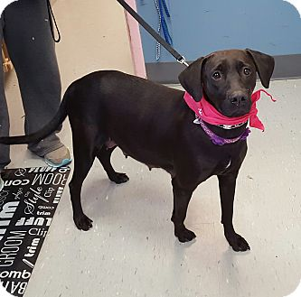Labrador Retriever Mix Dog for adoption in Maryville, Illinois - Arrow