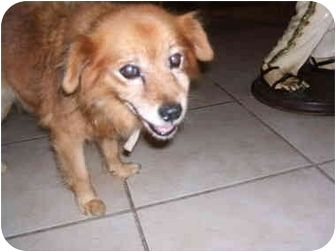 Pomeranian/Golden Retriever Mix Dog for adoption in SCOTTSDALE, Arizona - LUCY