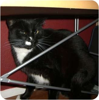 Domestic Shorthair Cat for adoption in Bellingham, Washington - Bart
