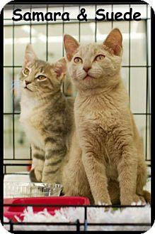 Domestic Shorthair Kitten for adoption in Merrifield, Virginia - Samara & Suede