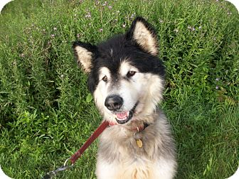 Alaskan Malamute Mix Dog for adoption in Augusta County, Virginia - Valentino