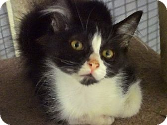 Domestic Longhair Kitten for adoption in Escondido, California - Rolex