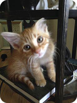 Domestic Shorthair Kitten for adoption in Cerritos, California - Finn