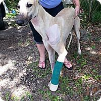 Adopt A Pet :: Glaze - Brandon, FL