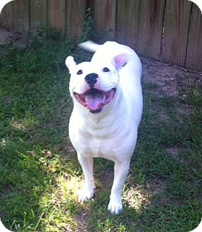 English Bulldog/American Bulldog Mix Dog for adoption in Portsmouth, New Hampshire - Divinity