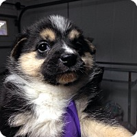Adopt A Pet :: Leia - Richmond, VA