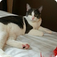 Domestic Shorthair Cat for adoption in St. Louis, Missouri - Dion