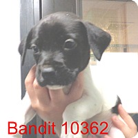 Adopt A Pet :: Bandit - baltimore, MD
